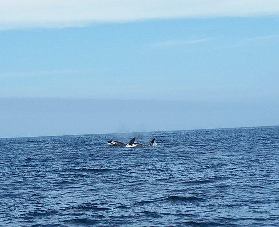Sanctuary Cruises: Orca Whales