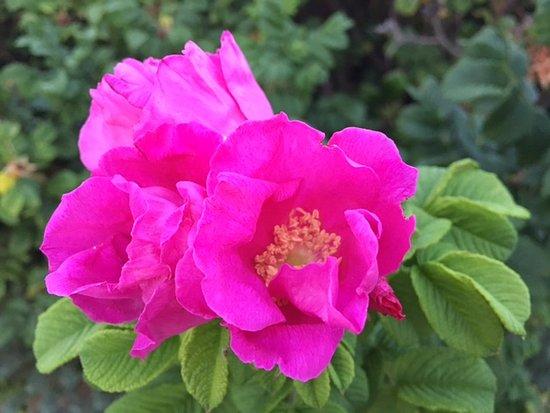 Kalmar Village: Beach Roses smell divine