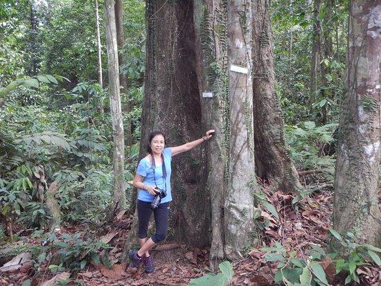 Sepilok Jungle Resort: Lovely tree in the Rainforest Conservation Centre