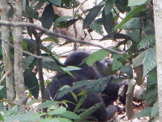 Sepilok Jungle Resort: Borneo sun bear