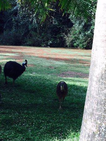 Atherton, Australia: cassowary and chicks