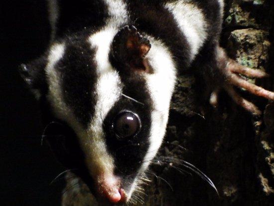 Atherton, Australia: striped possum
