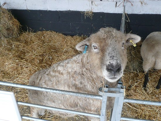 Cholderton, UK: A large sheep