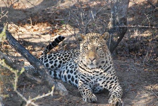 Royal Malewane: Diesem schönen Leoparden konnten wir so lange so nah sein - was für ein Gefühl!