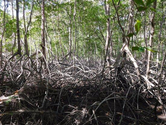 Tambor, Kosta Rika: Mangrove