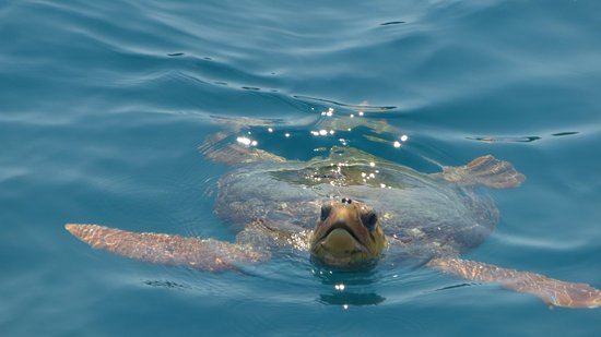 Louis Zante Beach Hotel: So lucky to see this male turtle in the bay