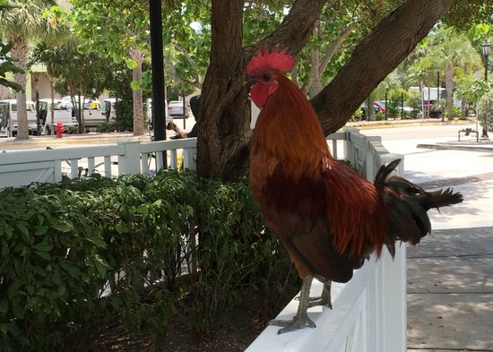 Key West Sailing Adventure: Roosters Run Free In Key West And Crow Often So Don't Be Startled.
