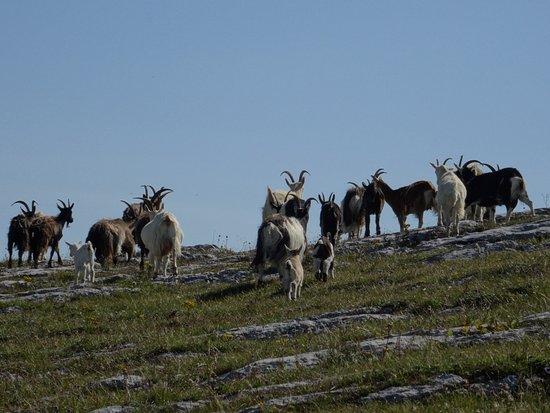 Ganze Herde mit Jungen - Picture of The Burren National Park ...   {Herde 50}