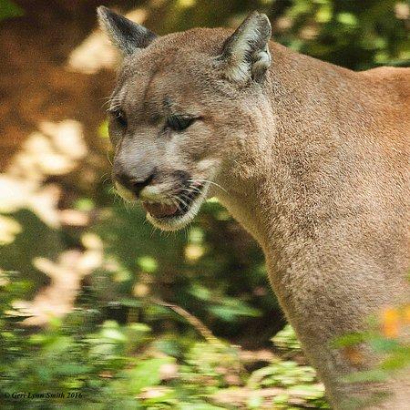 Squam Lakes Natural Science Center : Mountain Lion Portrait