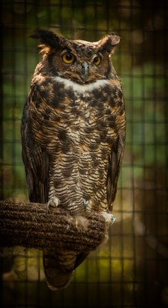 Squam Lakes Natural Science Center : Great Horned Owl