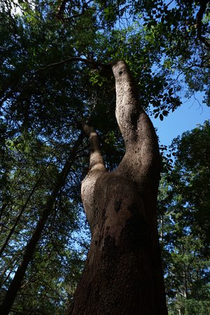 Cortes Island, Καναδάς: Magnificent arbutus trees!
