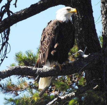 Campbell River, Canada: Female Bald Eagle