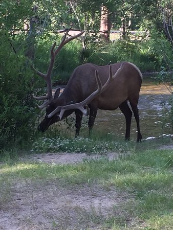 Castle Mountain Lodge: Elk that walked along falls river behind cabins.   Amazing!