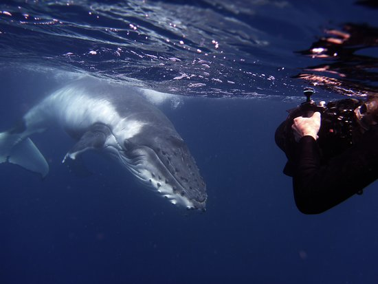 Uoleva Island, Tonga: Swimming with whales at Sea Change...