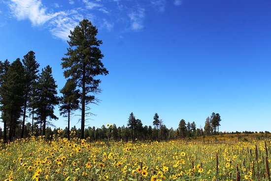 San Francisco Peaks: These beautiful wildflowers are off westbound old route 66, heading towards the I40.