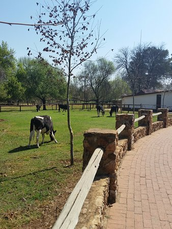 Centurion, Sør-Afrika: first lot of cows we came across