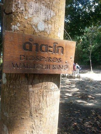 Khlong Thom, Ταϊλάνδη: drzewo z rodziny Hebankowate