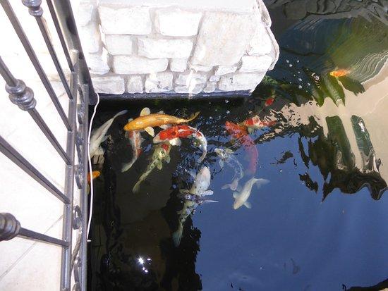 Benoni, Sudafrica: koi pond