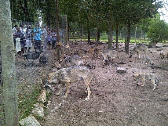 Kenilworth, Sudáfrica: Tsitsikamma Wolf Sanctuary
