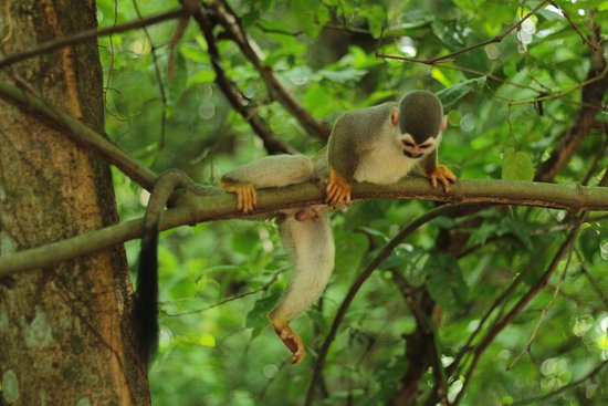Bosque da Ciência : Macaco de cheiro