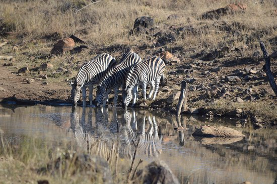 Ekala Eco Tours - Day Tours: Zebras with reflection