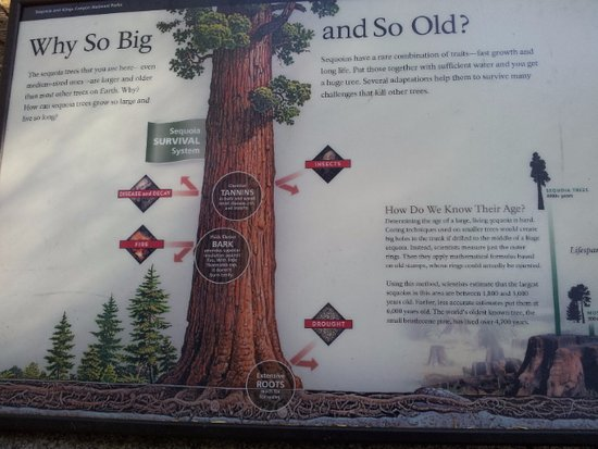 Three Rivers, CA: Why so big and so old?