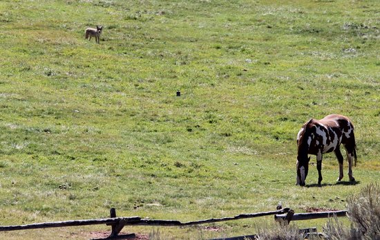 Bridger Teton National Forest: Coyote watching the horse