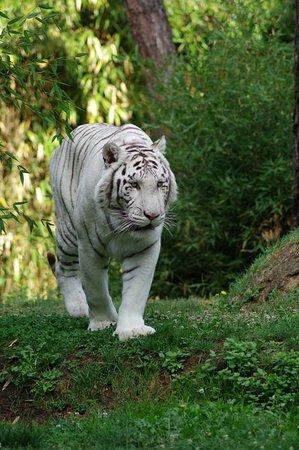 tigre blanc photo de zoo de la fl che la fl che tripadvisor. Black Bedroom Furniture Sets. Home Design Ideas