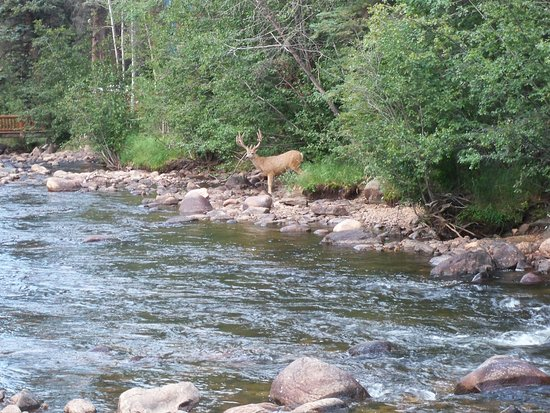 Idlewilde by the River: Elk ready to cross & dine on shrubs on the other side