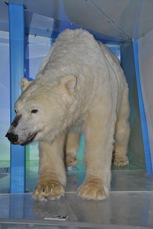 Arktikum: Orso polare