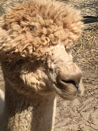 Island Alpaca Company of Martha's Vineyard: photo1.jpg