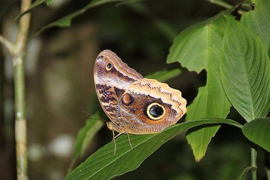Punta Gorda, Belize : Owl butterfly at Rio Blanco National Park