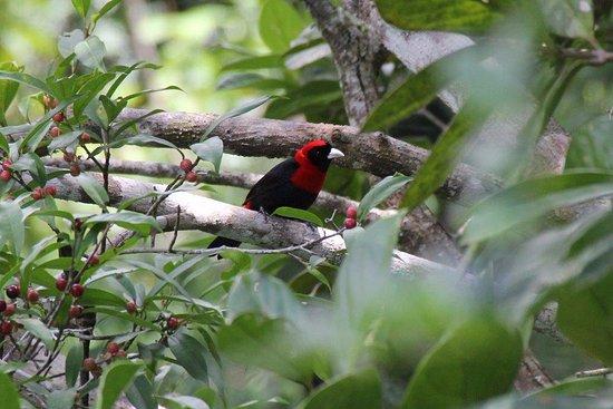 Punta Gorda, Belize: Crimson Collared Tanager at Rio Blanco National Park