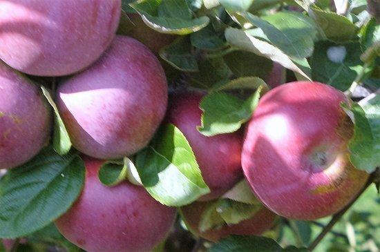 Compton, Καναδάς: Tres belles pommes que vous pouvez goûter et cueillir par la suite.
