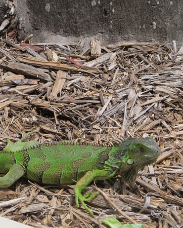 Suite Dreams Inn: iguanas run free at Casa Marina