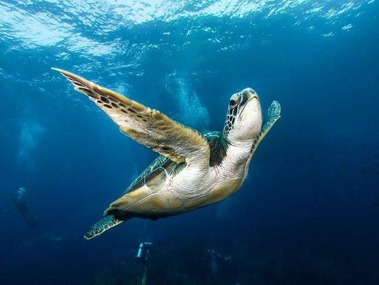 Scubafish: Turtle