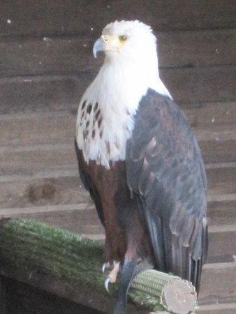 Hellenthal, Alemania: Weißkopfseeadler