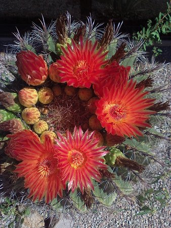 Patagonia, AZ: Barrel cactus crown