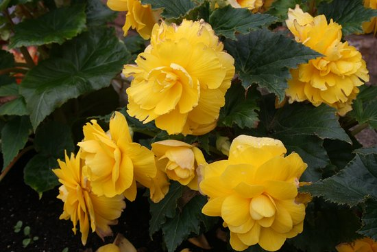 Wymondham, UK: These begonia's are about 2 feet high and covered in flower.