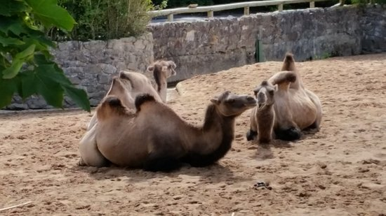 Camel! In the UK! - Picture of Chester Zoo, Chester - TripAdvisor