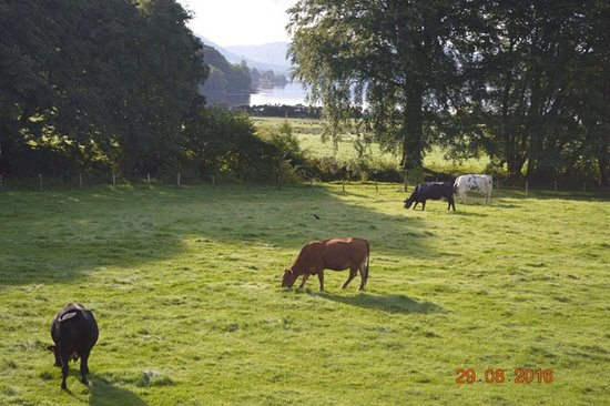 Ardchattan, UK: Cows munching