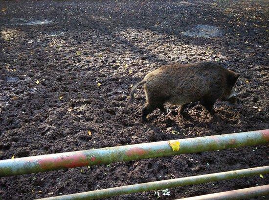 Konin, بولندا: Dzik... nie taki dziki. :-)