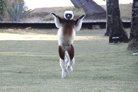 Anjajavy L'Hotel: Dancing lemur just in front of restaurant