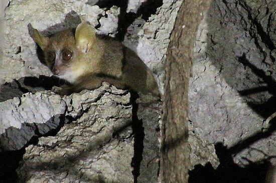 Anjajavy L'Hotel: mouse lemur seen on night walk