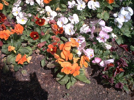 First Division Museum at Cantigny: Pansy garden
