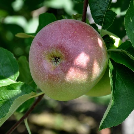 Connecticut: Lapsley Orchard - Pomfret, CT - Early Apple
