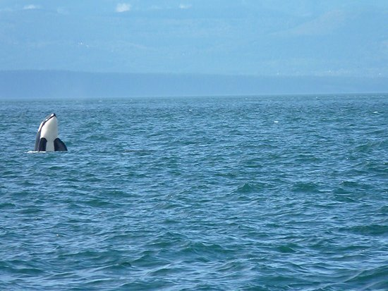 Puget Sound Express - Day Trips: We watched the Orca and she watched us!