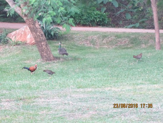 Ulagalla Resort: Peacock and jungle fowl from the wild visit the hotel premises