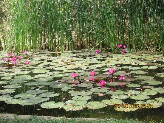 Thirappane, Sri Lanka: A small lake in the premises with lotus flowers in bloom