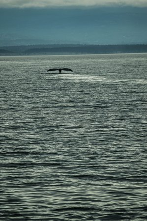 Puget Sound Express - Day Trips: Humpback near end of trip